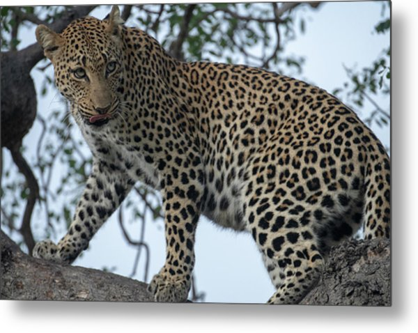 Leopard Anticipation Metal Print