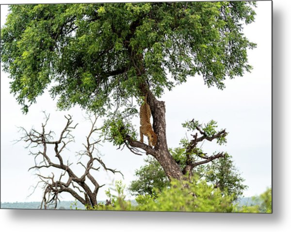 Leopard Descending A Tree Metal Print