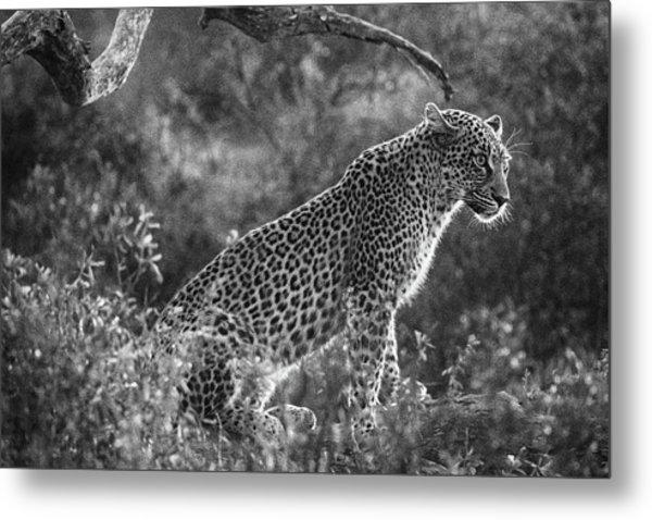 Leopard Sitting Black And White Metal Print