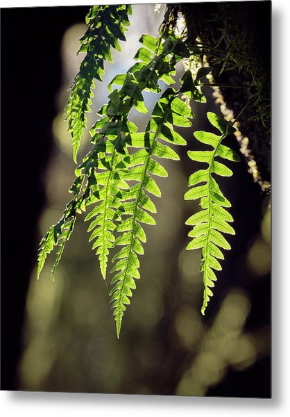 Metal Print featuring the photograph Licorice Fern by Whitney Goodey