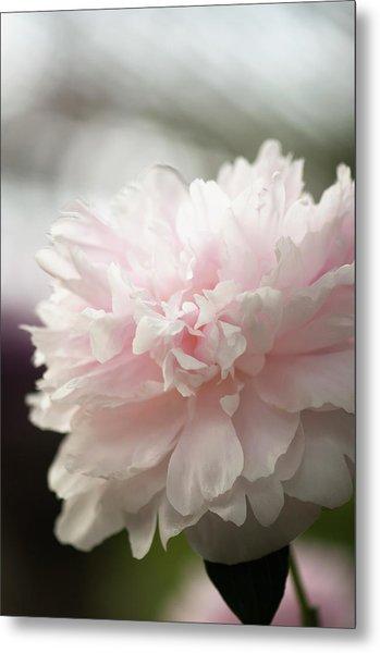 Light Pink Peony Flower Paeonia Metal Print