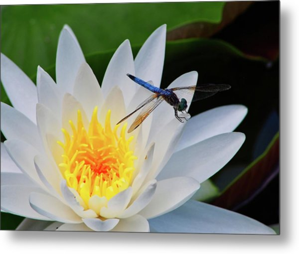 Lily And Dragonfly Metal Print