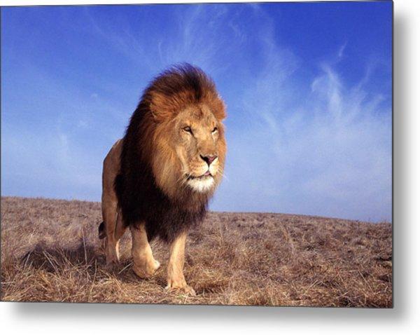 Lion Panthera Leo Metal Print
