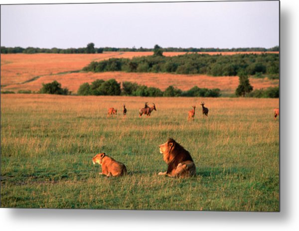 Lions And Lioness Panthera Leo Watching Metal Print by Martin Harvey