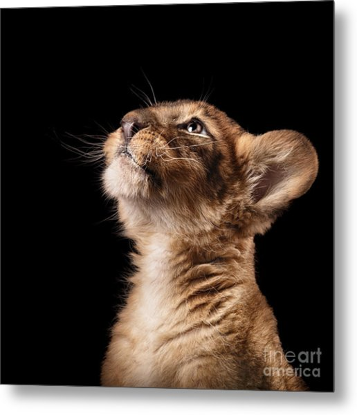 Little Lion Cub In Studio On Black Metal Print