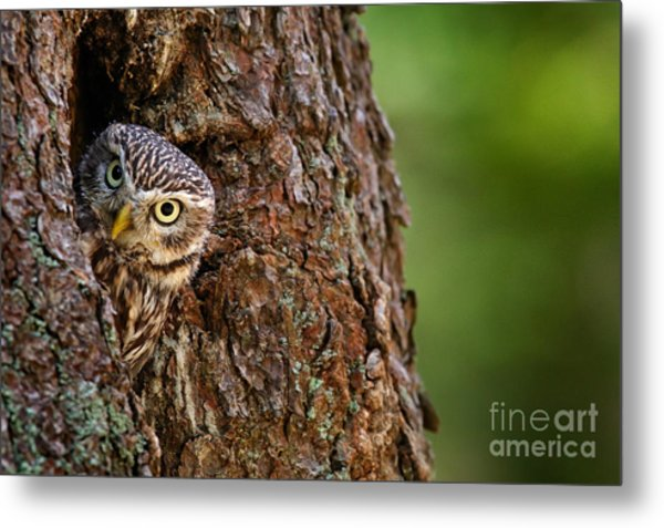 Little Owl, Athene Noctua, In The Metal Print