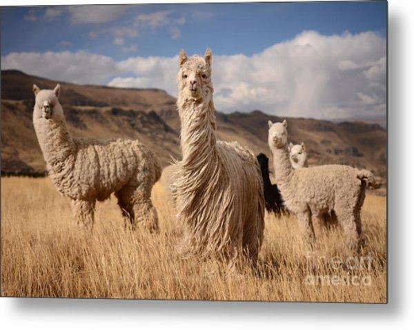 Llamas Alpaca In Andes Mountains, Peru Metal Print