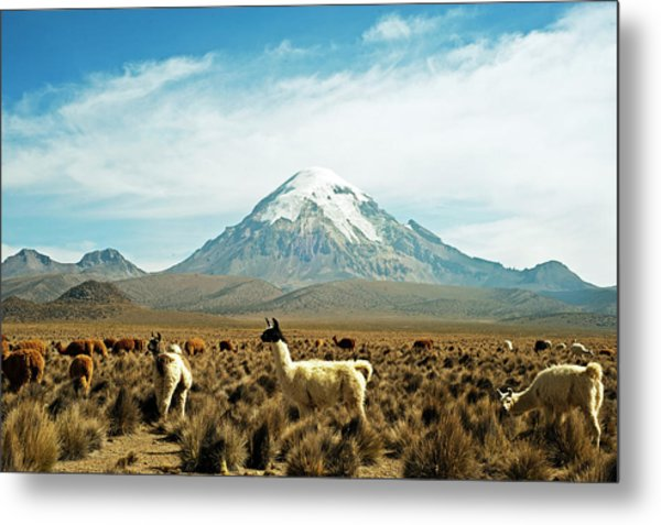 Llamas With Snowcapped Volcano Sajama Metal Print