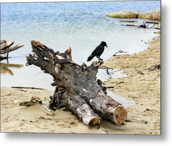 Lone Carmel Crow Atop Driftwood Metal Print