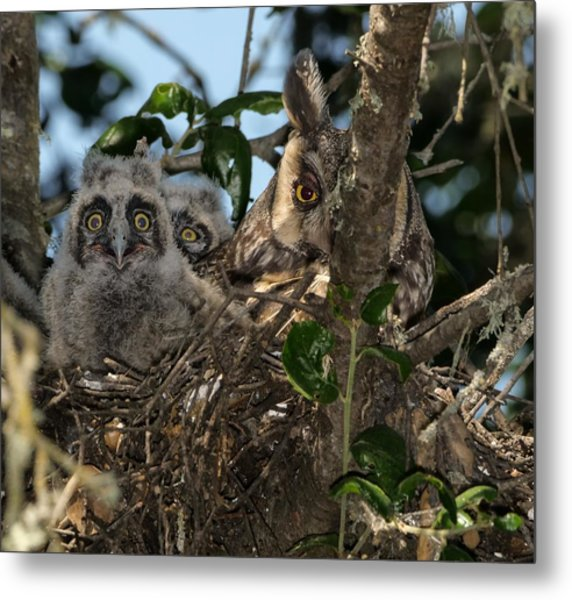 Long-eared Owl And Owlets Metal Print