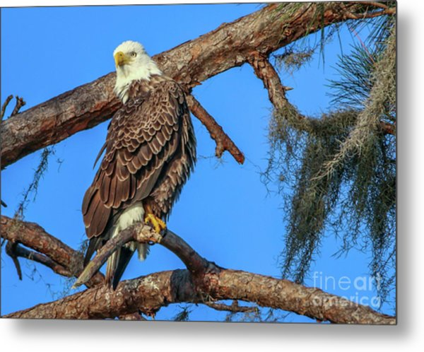 Metal Print featuring the photograph Lookout Eagle by Tom Claud