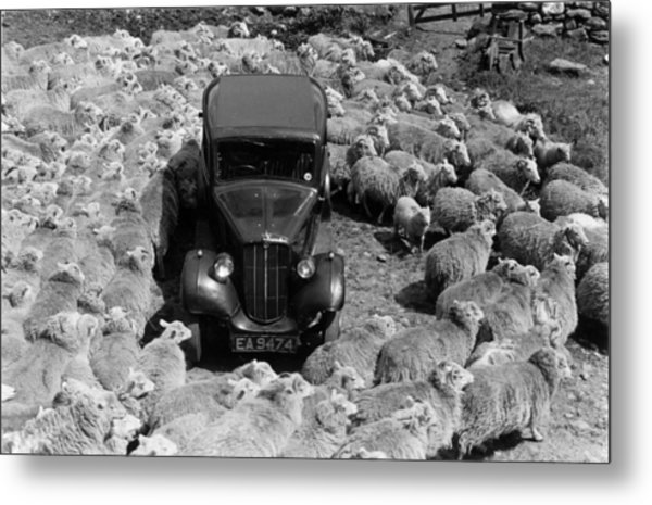 Lost In Sheep Metal Print by Grace Robertson
