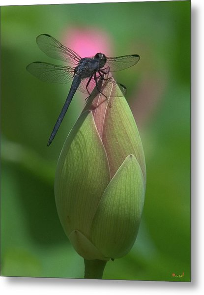 Metal Print featuring the photograph Lotus Bud And Slaty Skimmer Dragonfly Dl0006 by Gerry Gantt