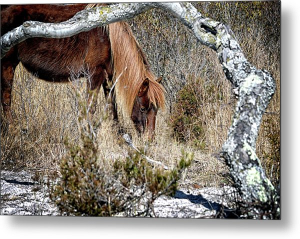 Metal Print featuring the photograph Lunchtime For Assateague's Gokey Go Go Bones by Bill Swartwout Fine Art Photography