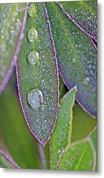 Lupin Leaves And Waterdrops Metal Print