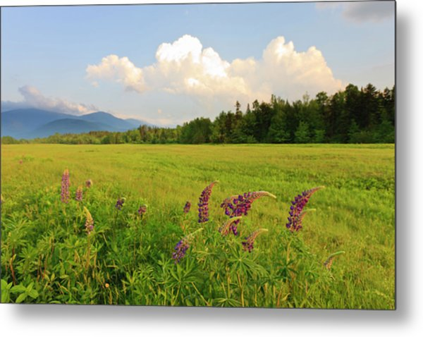 Lupine Lupinus In The White Mountains Metal Print
