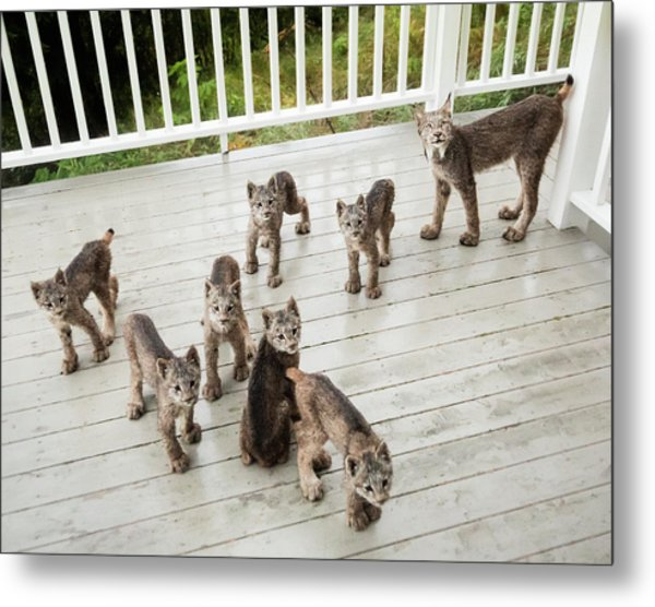 Metal Print featuring the photograph Lynx Family Portrait 11x14 by Tim Newton