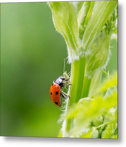 Macro Of Ladybug Adalia Bipunctata Metal Print