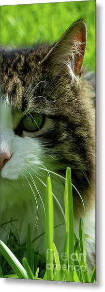 Metal Print featuring the photograph Maine Coon Cat Photo A111018 by Mas Art Studio