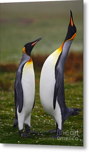 Male And Female Of King Penguin, Couple Metal Print by Ondrej Prosicky