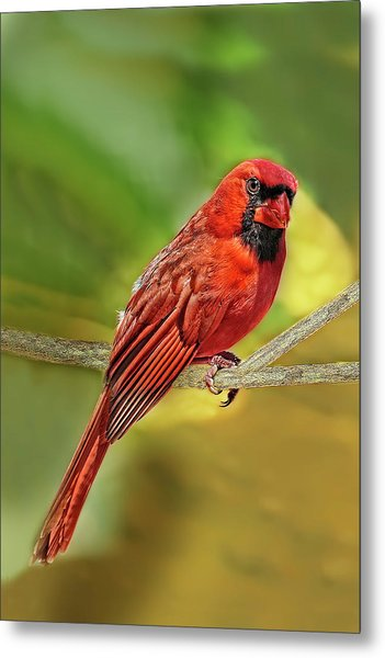Male Cardinal Headshot  Metal Print