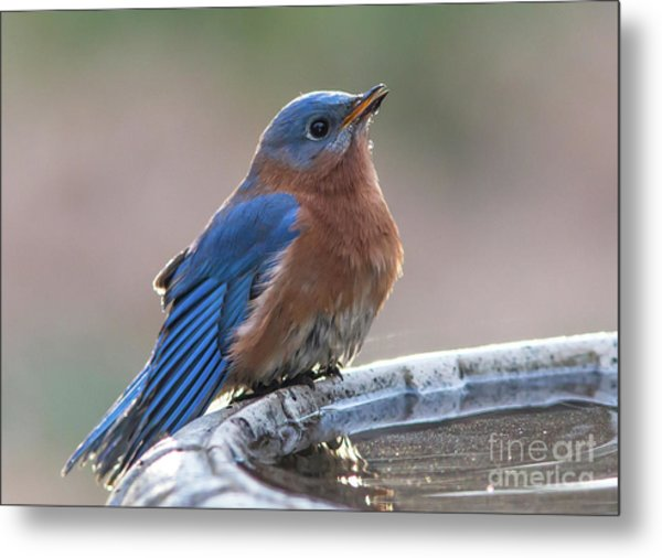 Male Eastern Blue Bird Metal Print