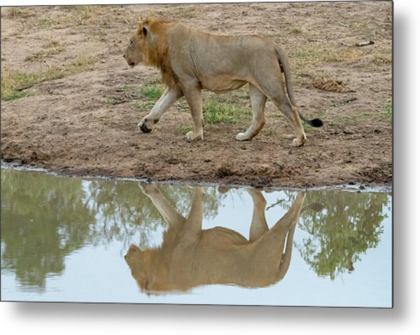 Male Lion And His Reflection Metal Print