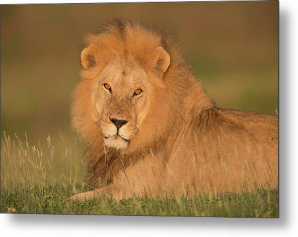 Male Lion At Sunrise Metal Print