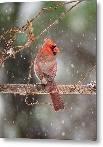 Male Red Cardinal Snowstorm Metal Print