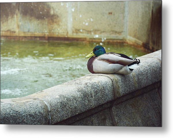 Mallard Resting On The Fountain Of The Fallen Angel In The Retiro Park - Madrid, Spain Metal Print
