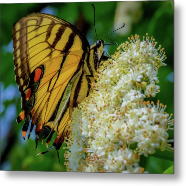 Manassas Butterfly Metal Print