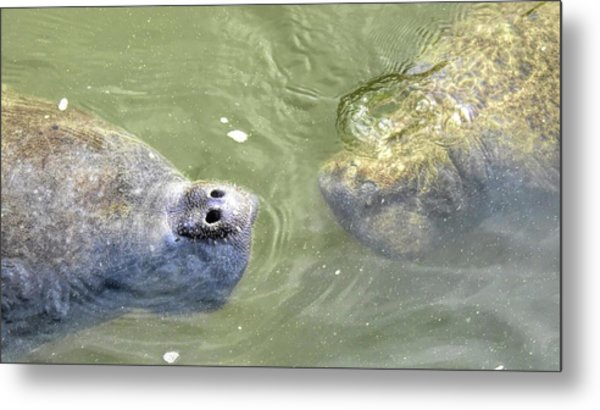 Manatee Love Metal Print