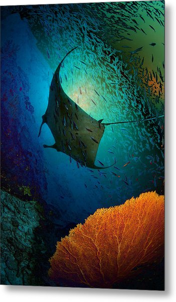 Manta Dreams Metal Print by Nature, Underwater And Art Photos. Www.narchuk.com
