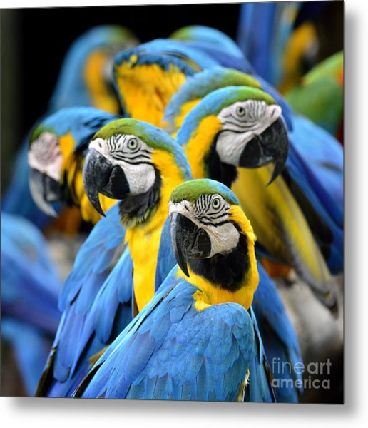 Many Of Blue And Gold Macaw Perching Metal Print by Super Prin