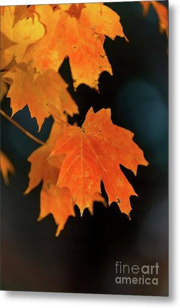 Maple-1 Metal Print