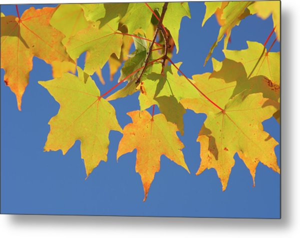 Maple Acer Sp. Autumn Leaves Against Metal Print by Martin Ruegner