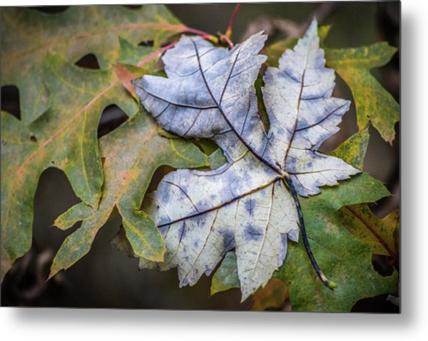 Metal Print featuring the photograph Maple And Oak by Michael Arend