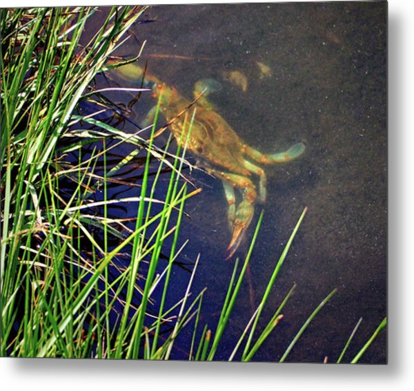 Metal Print featuring the photograph Maryland Blue Crab Lurking In An Assateague Marsh by Bill Swartwout Fine Art Photography