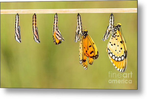 Mature Cocoon Transform To Tawny Coster Metal Print