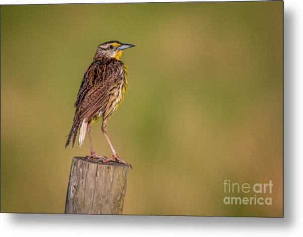 Metal Print featuring the photograph Meadowlark On Post by Tom Claud