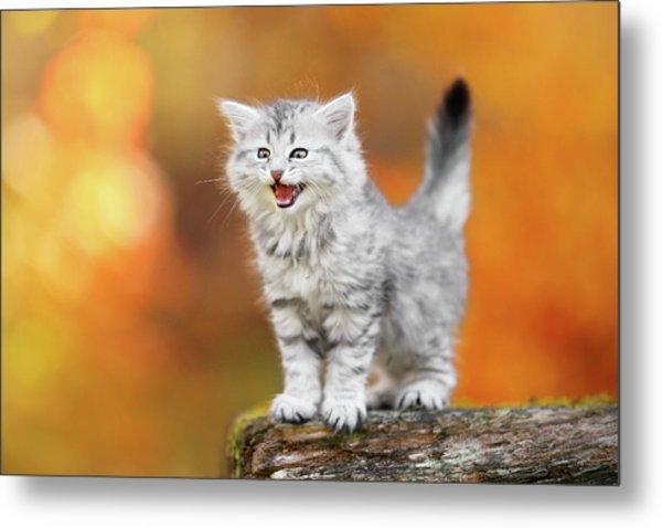 Meowing Little Baby Kitten Autumn Metal Print by Kim Partridge/partridge-petpics
