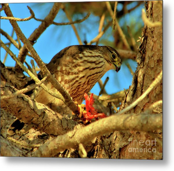 Metal Print featuring the photograph Merlin Eating Breakfast by Debbie Stahre