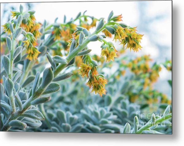 Mexican Echeveria In The  Morning Metal Print