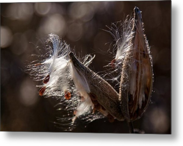 Metal Print featuring the photograph Milk Pods In Magic Light by Tatiana Travelways