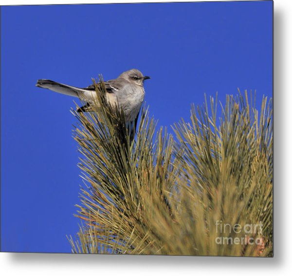 Mockingbird In White Pine Metal Print