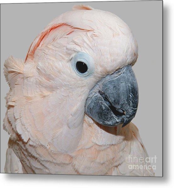Moluccan Cockatoo Metal Print