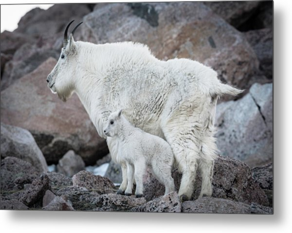 Mom And Baby Mountain Goat Metal Print