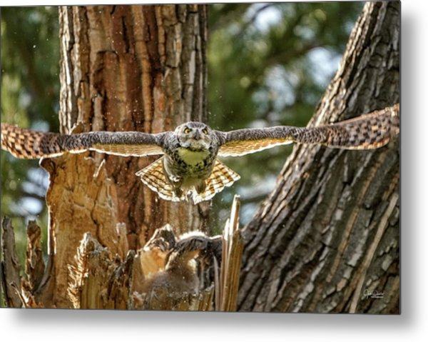 Momma Great Horned Owl Blasting Out Of The Nest Metal Print
