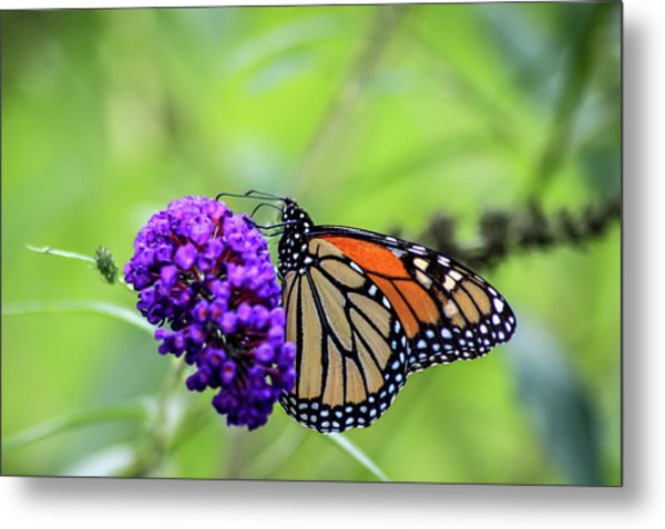Metal Print featuring the photograph Monarch And Black Knight by Dawn Richards