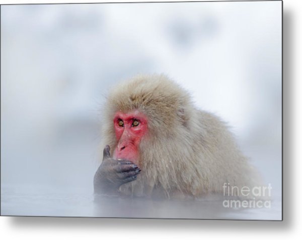 Monkey Japanese Macaque, Macaca Metal Print